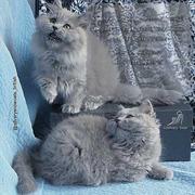 Перспективные британские длинношерстные котята