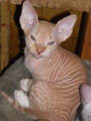Продам котенка, кличка Нелли,  донской сфинкс
