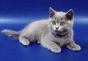 , , Британские котята, очаровательная кошечка лилового окраса