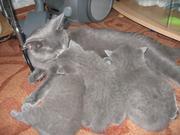 Голубые британские котята 1, 5 мес